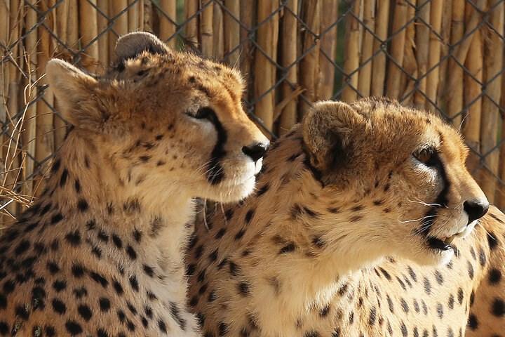 انتقال جنجالی یوزپلنگ های پردیسان به سمنان